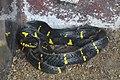 Mangrove Snake (12254905074).jpg
