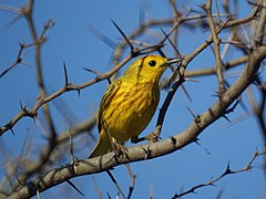 Mangrove Warbler, Antigua, West Indies.jpg