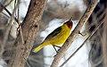 Mangrove Warbler - Flickr - GregTheBusker (6).jpg