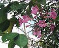 Mansoa hymenaea (9268782849).jpg