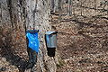 Maple sap collecting at Bowdoin Park, New York.JPG