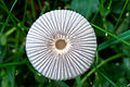 Marasmius rotula, Lodz(Poland)02(js).jpg