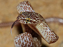 Marbled Tree Snake (Dipsadoboa aulica) threat display close-up (13922956201).jpg