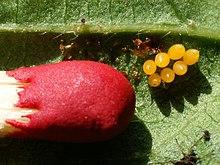 wikipedia coccinella