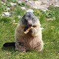 Marmota marmota 02.jpg