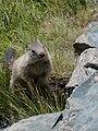 Marmota marmota Glockner 2009 05.jpg