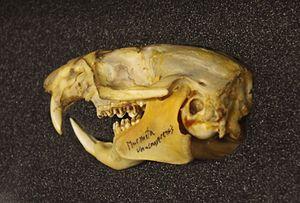 Vancouver Island marmot - Vancouver Island marmot skull