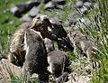 Marmottes en Vanoise (11).JPG