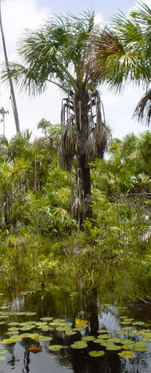 Mauritia flexuosa - Moriche palm in Marajó