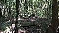 Mawphlang Sacred Forest, Mawphlang, Meghalaya.jpg