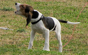 Coon hunting - A Treeing Walker Coonhound puppy