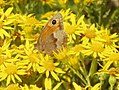Meadow Brown butterfly on Ragwort - geograph.org.uk - 913260.jpg