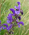 Meadow Clary. Sylvia pratensis - Flickr - gailhampshire (2).jpg