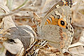 Meadow argus on leaf litter.jpg