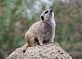 Meerkat sitting on tall rock and looking upwards at Oakland Zoo (10545597684).jpg