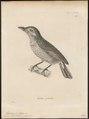 Megalaima phaiosticta - 1700-1880 - Print - Iconographia Zoologica - Special Collections University of Amsterdam - UBA01 IZ18800074.tif