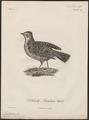 Megalophonus apiatus - 1796-1808 - Print - Iconographia Zoologica - Special Collections University of Amsterdam - UBA01 IZ16100383.tif