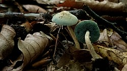 Melanophyllum eyrei (Massee) Singer 778616.jpg