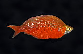 Fauna of New Guinea - The center of rainbowfish diversity is in New Guinea, but several of these are threatened, including Glossolepis incisus (shown)