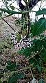 Melia azedarach -Αγριοπασχαλιά.jpg