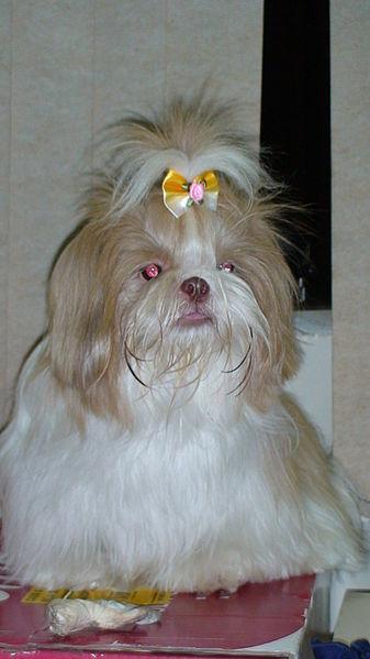 Cute Shih Tzu dog