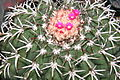 Melocactus zehntneri (Britton & Rose) Luetzelburg Rio Grande do Norte, Brasil.jpg