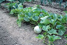 This a picture of a melon plant. Melon plants are pollinator crops and a good source of vitamin A