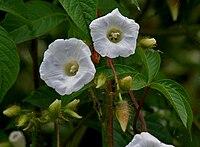 Merremia aegyptia (M pantaphylla) in Hyderabad, AP W IMG 2527