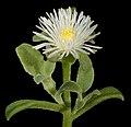Mesembryanthemum aitonis - Flickr - Kevin Thiele.jpg
