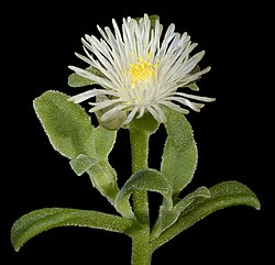 Mesembryanthemum aitonis - Flickr - Kevin Thiele.jpg