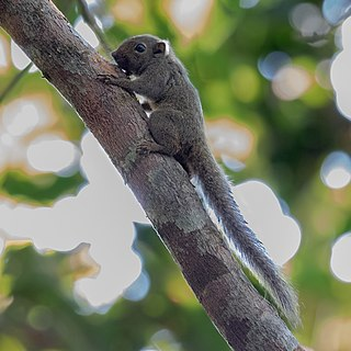 Amazon dwarf squirrel species of mammal