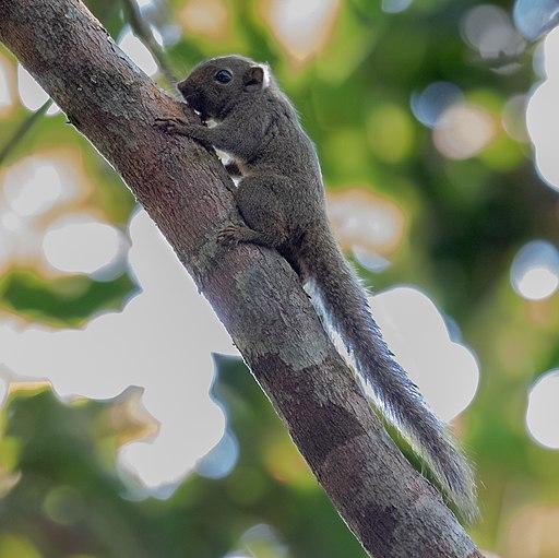 Ardilla pigmea del Amazonas, roedores del amazonas