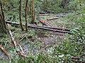 Midcoast Watersheds Council rehabilitation program in Siuslaw Ntl Forest.jpg