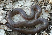 Carphophis