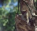 Milne-Edwards' Sportive Lemur (Lepilemur edwardsi) (43521433480).jpg