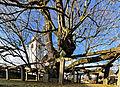Mindestens 700 Jahre alt, die Dorflinde in Hollenbach.jpg