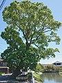 Mitsunori Shinmura Cinnamomum camphora.jpg