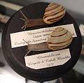 Modelle von Cepaea nemoralis (Hain-Schnirkelschnecke) -Blaschka-.jpg