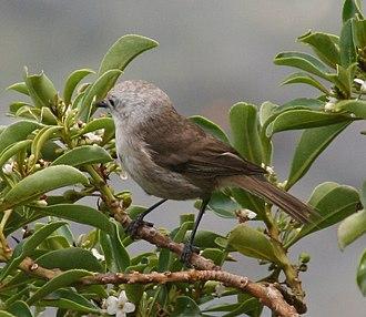Whitehead (bird) - Whitehead on Tiritiri Matangi Island