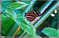 Monarch Butterfly - Flickr - pinemikey.jpg