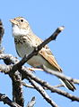 Monotonous lark, Mirafra passerina, at Borakalalo National Park, Northwest Province, South Africa (16018357050).jpg