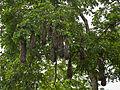 Montezuma oropendola-IMG 0842.JPG