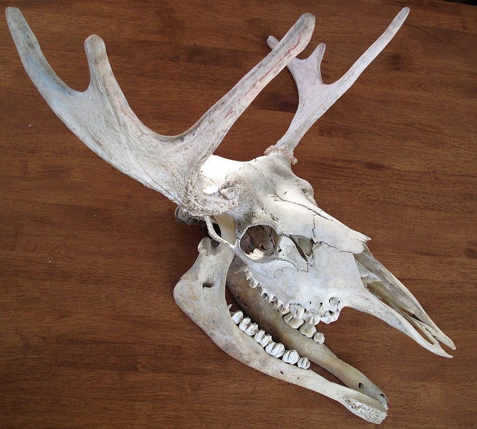 Moose Skull sideview