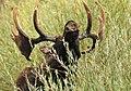 Moose on Seedskadee National Wildlife Refuge (20931305689).jpg