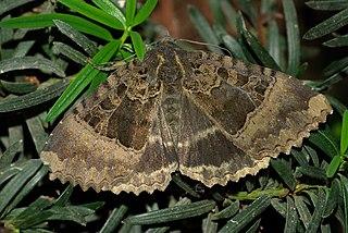 <i>Mormo maura</i> Species of moth
