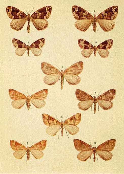 Moths of the British Isles Series2 Plate063.jpg