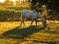 Moulin de la Brevette (perdrix et vaches) 2.jpg