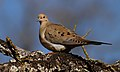 MourningDove-24JAN2017.jpg