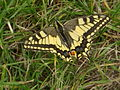 Mousson - machaon.JPG