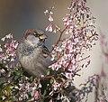 Mr Sparrow (30858092352).jpg
